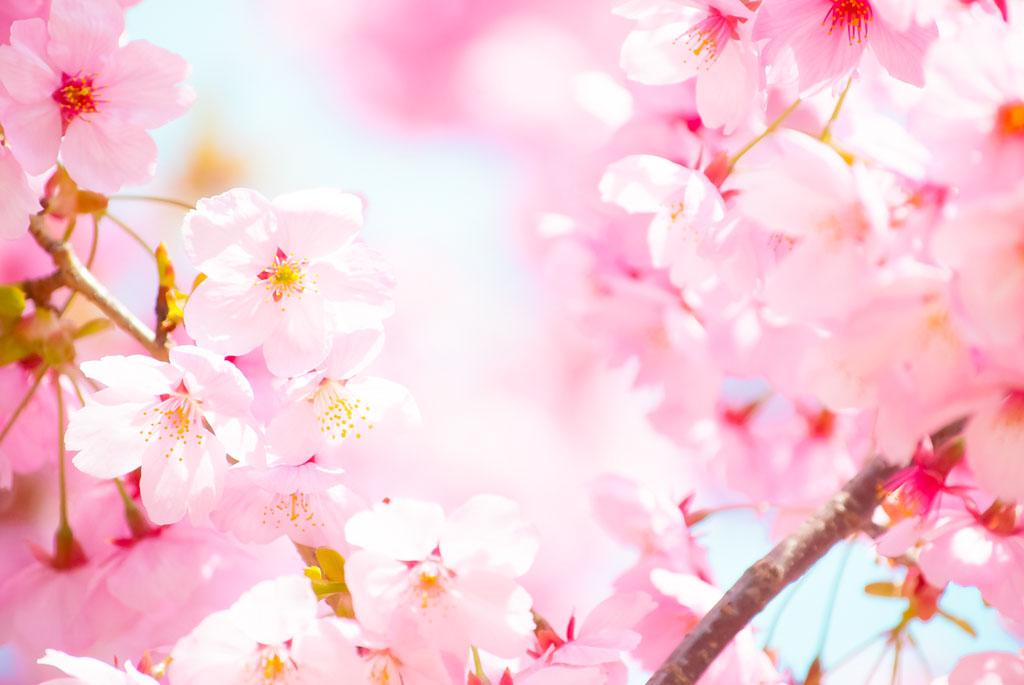 「和」を感じさせる桜ソング